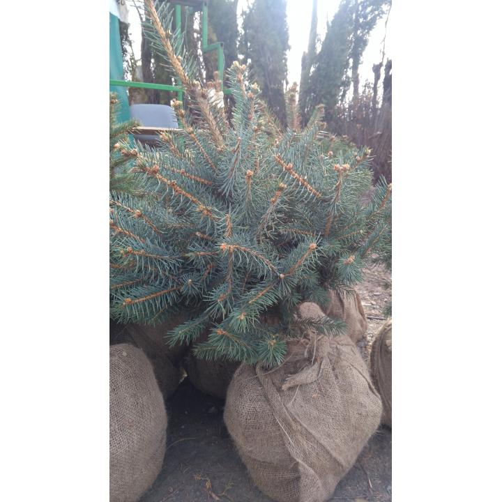 Brazi Picea Punges (semi argintii)