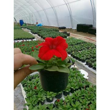 Flori de gradina Craite, portulaca (floare de piatra)