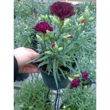 Flori Garofite parfumate la ghiveci