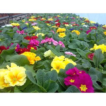 Flori Primule ghiveci 10 cm