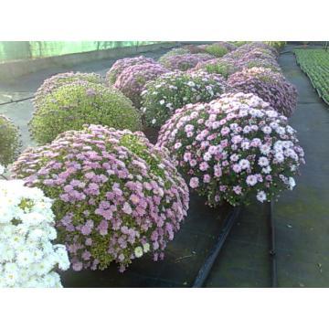Crizanteme multiflora XXL
