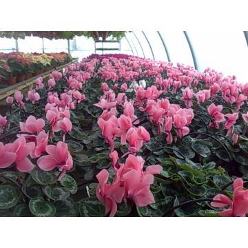 Floare Cyclamen XXL la ghiveci de 15 cm
