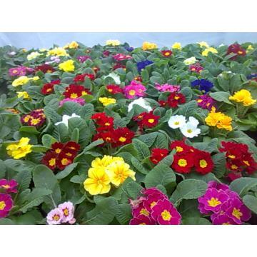 Flori batute Primule mari parfumate