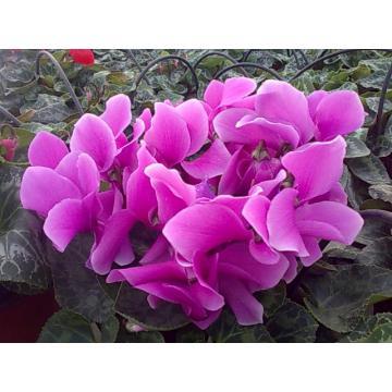 Flori ghiveci Cyclamen Hallios