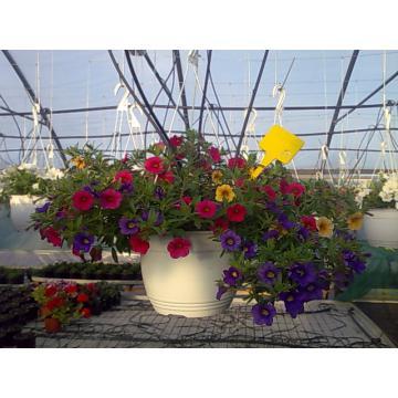 Flori ghiveci Petunia, calibrachoa, verbina