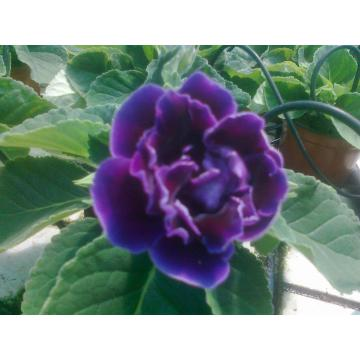 Flori mari batute ghiveci Gloxinia 12 cm
