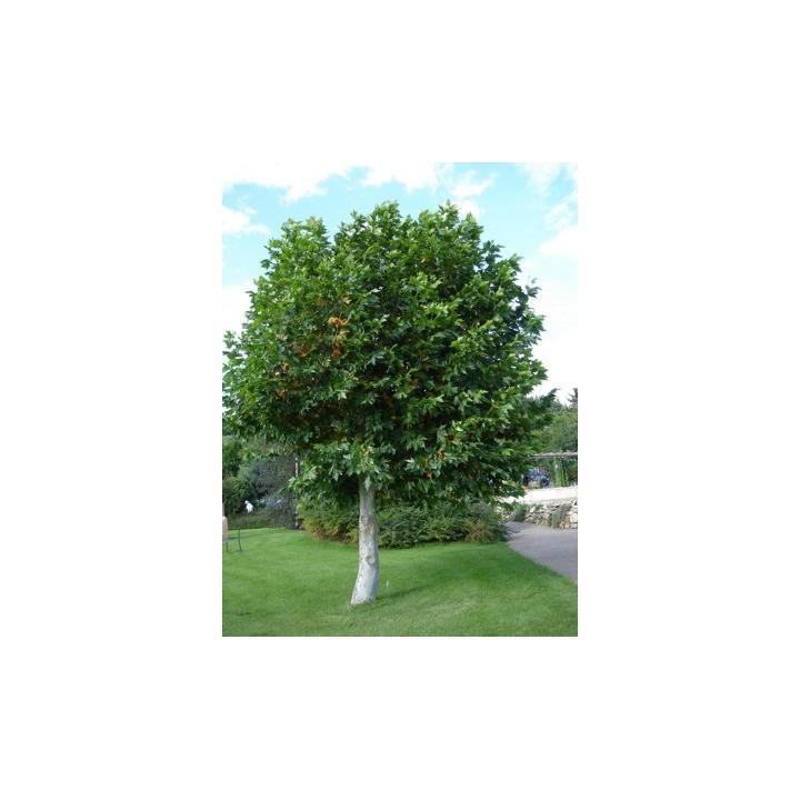Arbore foios Platan (Platanus acerifolia)