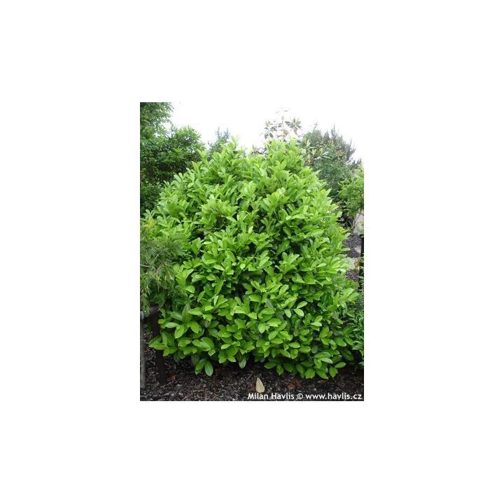 Arbore Laurocires rotundifolia (Prunus laur. Rotundifolia)