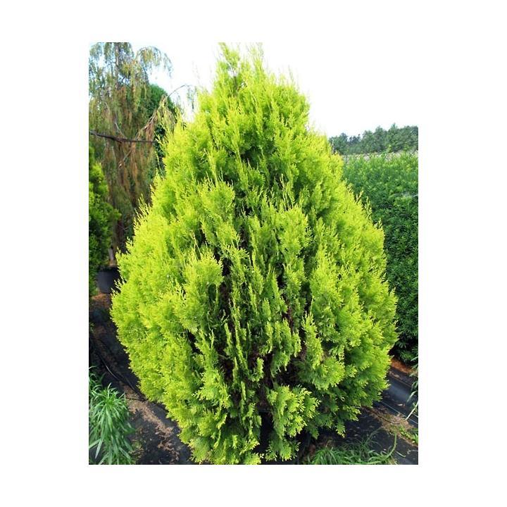 Arbust Tuia galbena (Platycladus Pyramidalis Aurea)