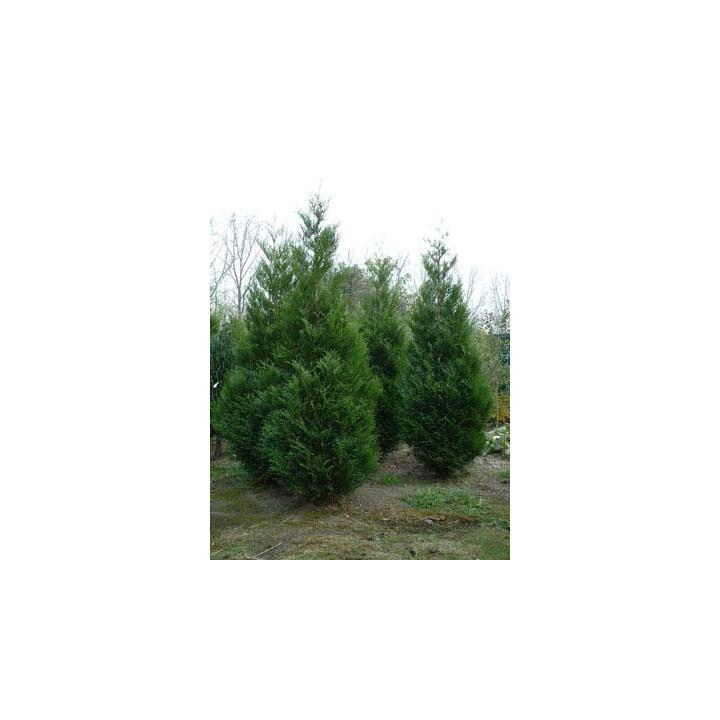 Arbust Tuia gigant (Thuja plicata Atrovirens)