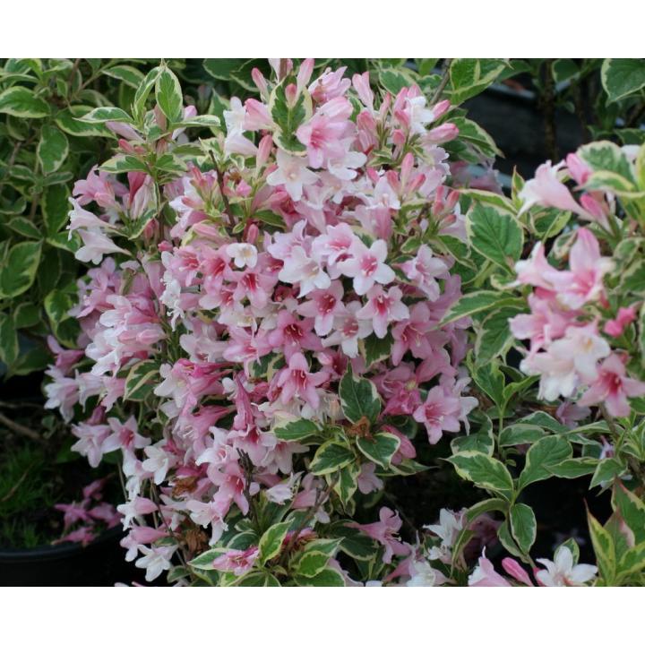 Arbust Weigela variegata (Weigela florida Nana Variegata)