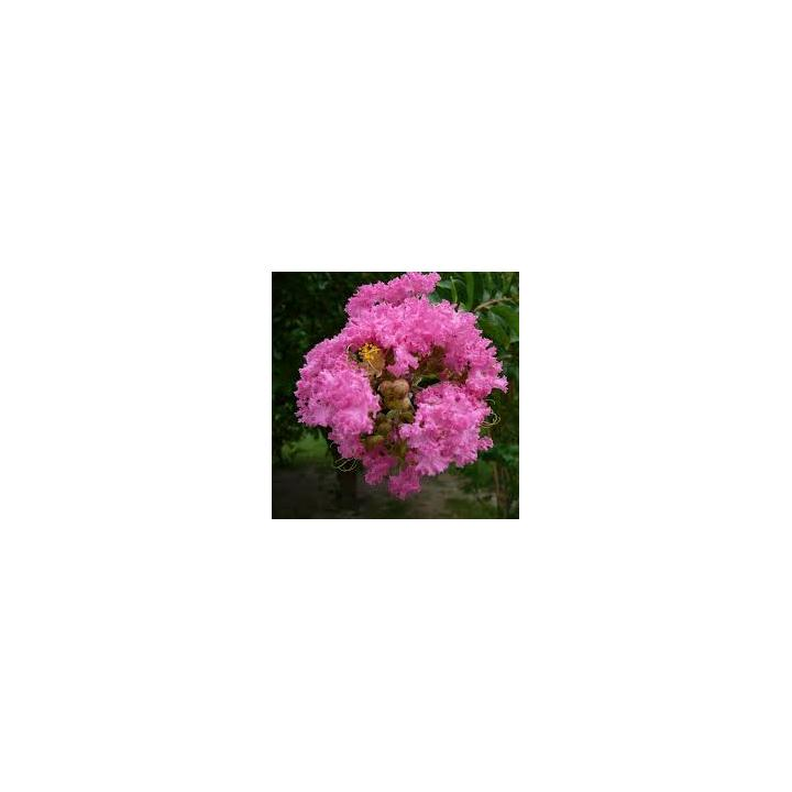 Liliac indian roz (Lagerstroemia ind Petite Pink)