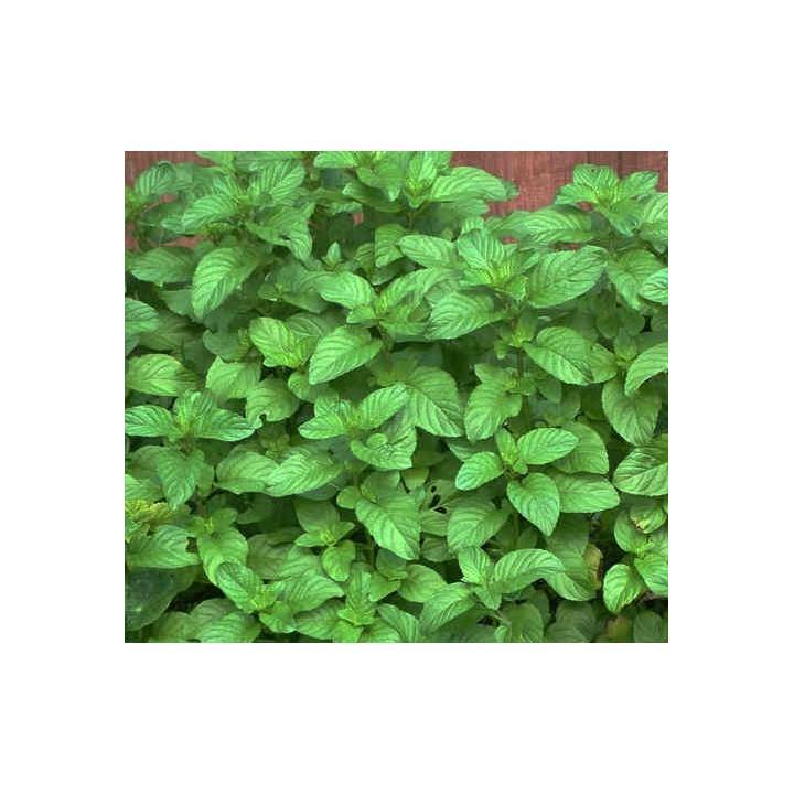 Menta cu aroma de capsuni (Mentha strawberry)