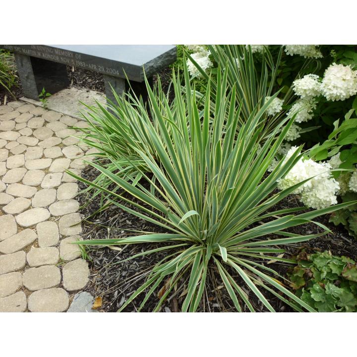 Planta Iuca galbena (Yucca filamentosa Bright Edge)