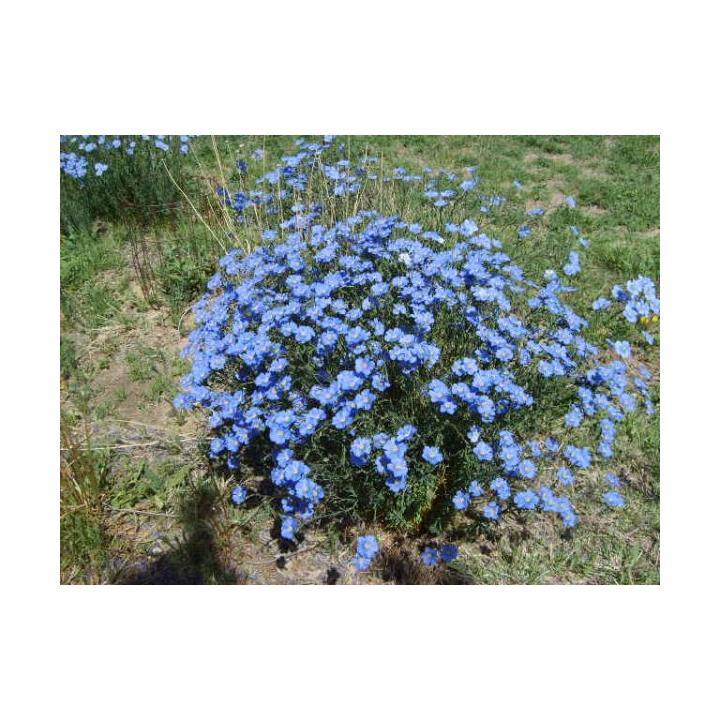 Planta perena de gradina In decorativ (Linium perene)