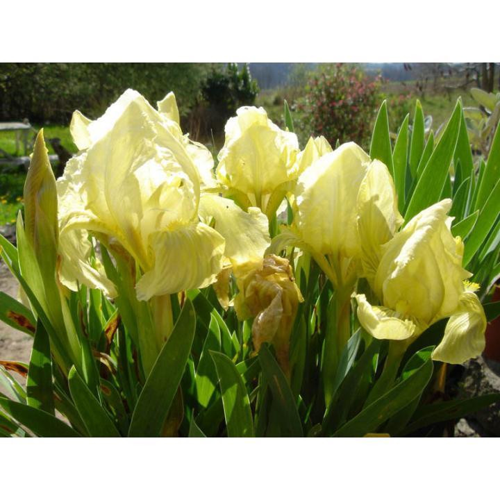 Planta perena Iris pumila (Iris pumila)