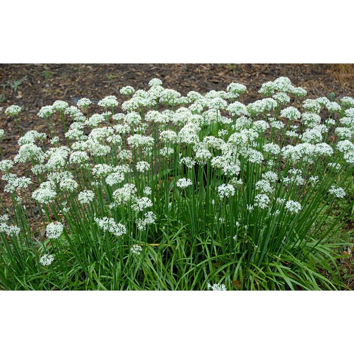 Planta perena Usturoi de frunze (Allium tuberosum)