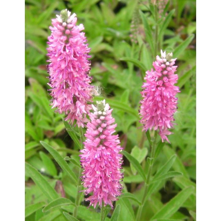 Planta perena Veronica roz (Veronica spi. Rose zwerg)