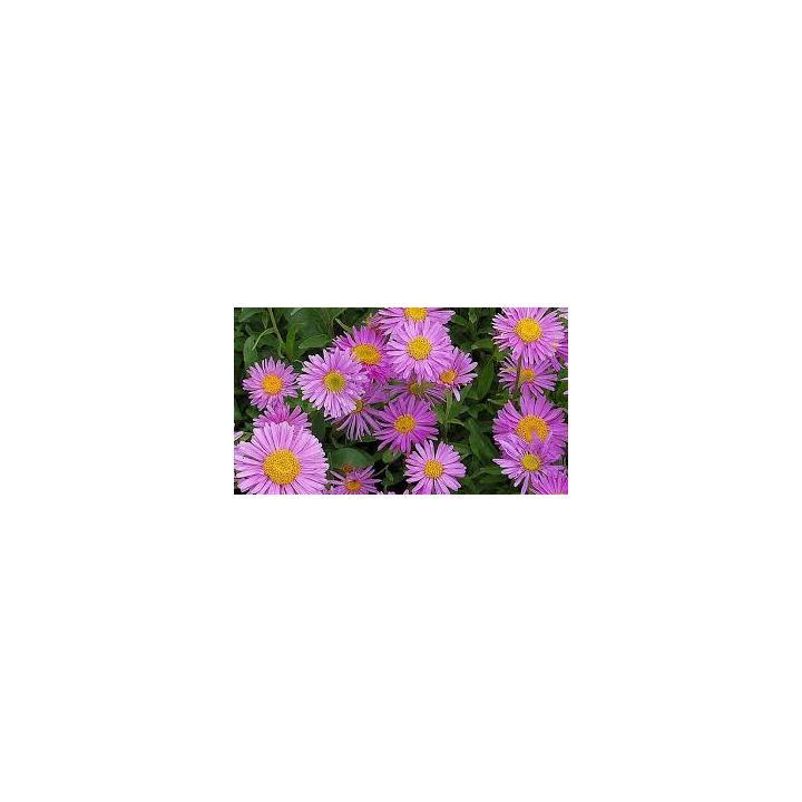 Planta pitica Stelute de toamna (Aster alpinus Happy End)