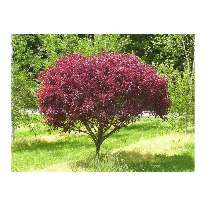 Pom fructifer cires rosu (Prunus cistena)