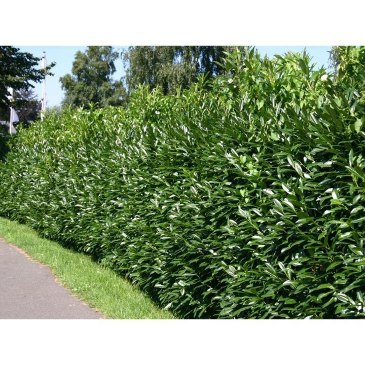 Arbore Laurocires caucasica (Prunus lauracerasus Caucasica)
