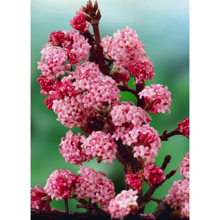 Arbust Calin de iarna (Viburnum x bodnantense Dawn)
