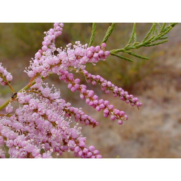 Arbust Catina rosie (Tamarix ramossisima)