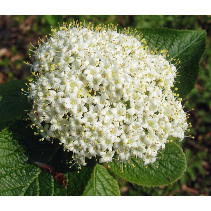 Arbust Darmox (Viburnum lantana)