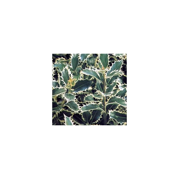 Arbust Ilex argintiu (Ilex aquif. Silver Queen)