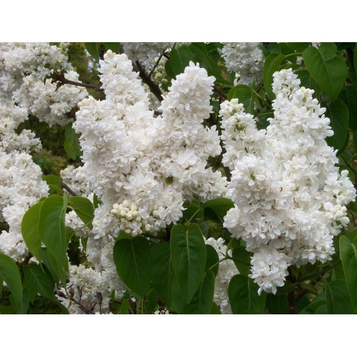 Arbust Liliac alb batut (Syringa vulg. M-me Lemoine)