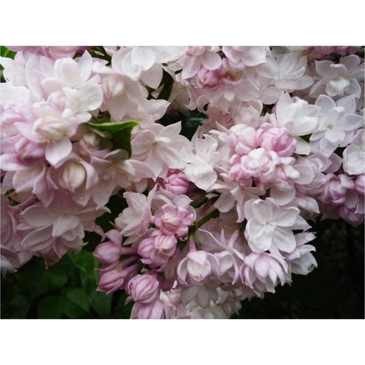Arbust Liliac frumusetea Moscovei Syringa v Beauty of Moscow