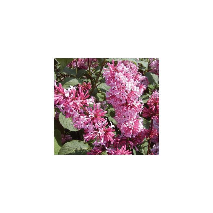 Arbust Liliac roz (Syringa prestoniae Miss Canada)
