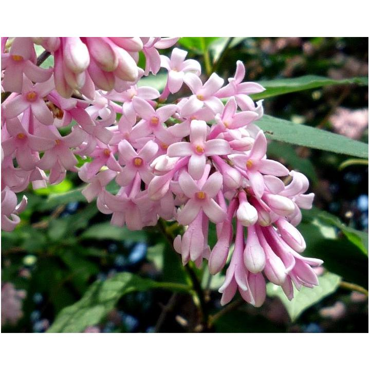 Arbust Liliac transilvania (Syringa josikea)