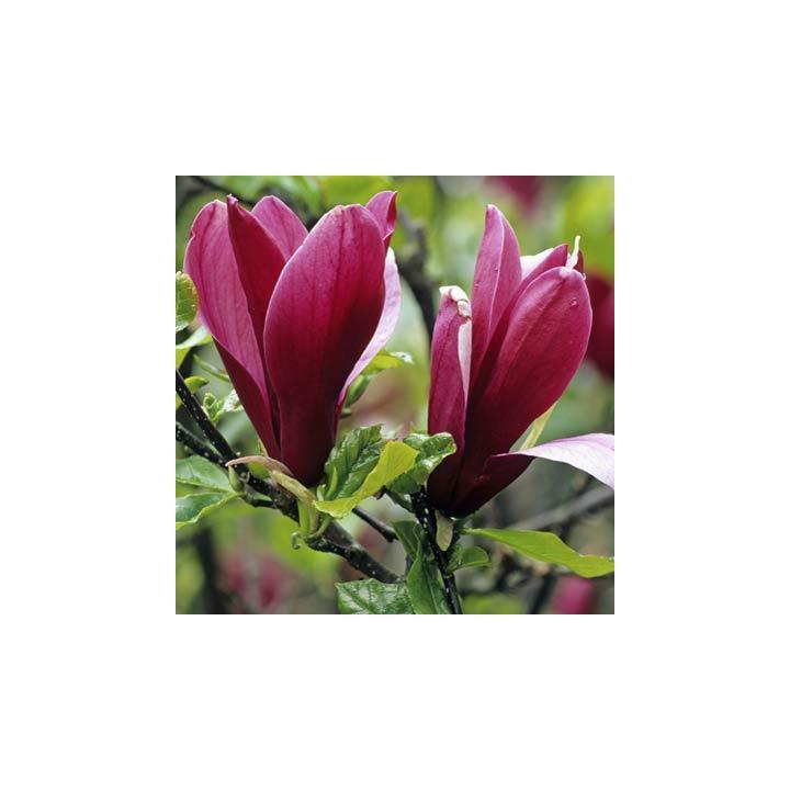 Arbust Magnolia mov (Magnolia liliflora Nigra)