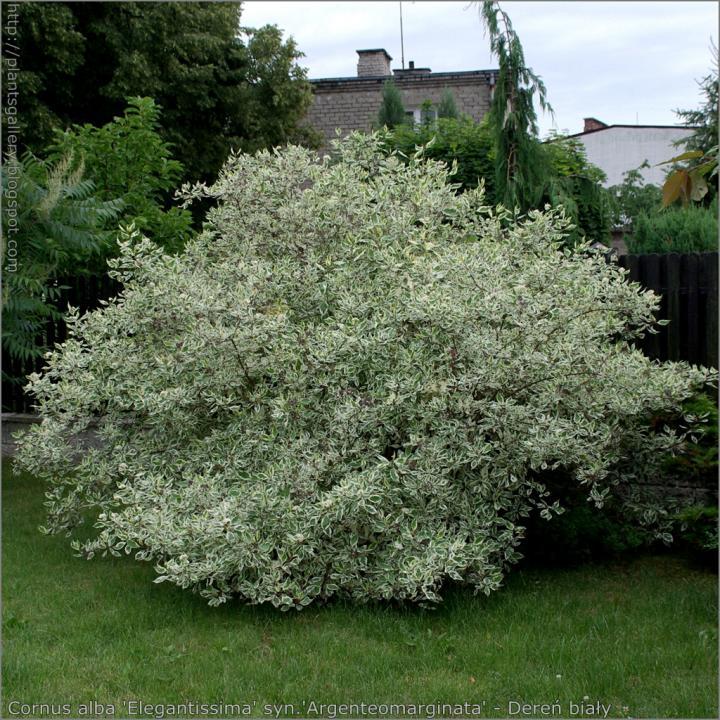 Arbust Sanger decorativ (Cornus alba argenteo margenata)