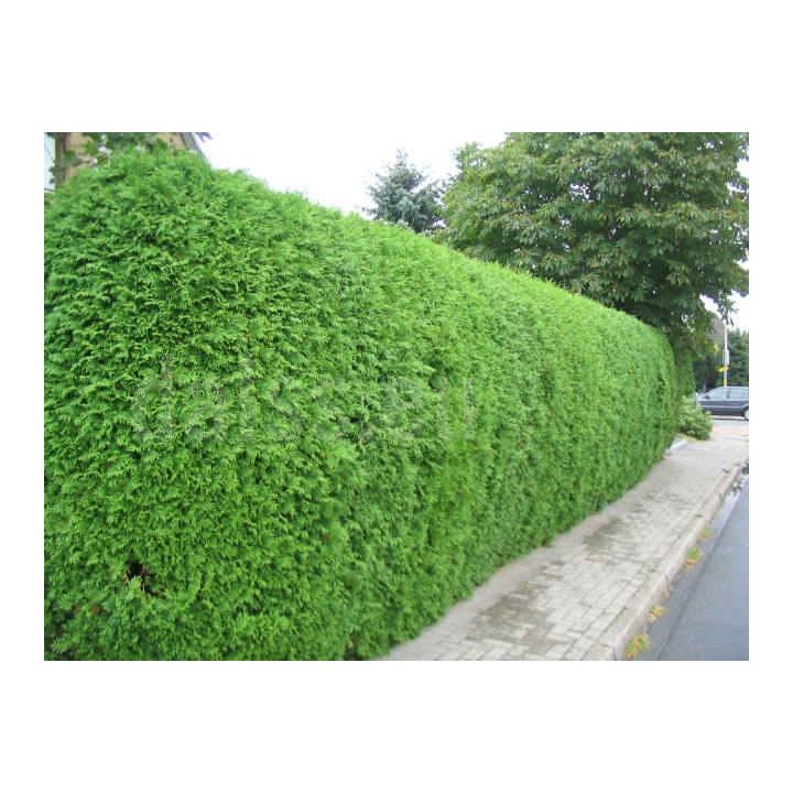 Arbust Tuia brabant (Thuja occ. Brabant)