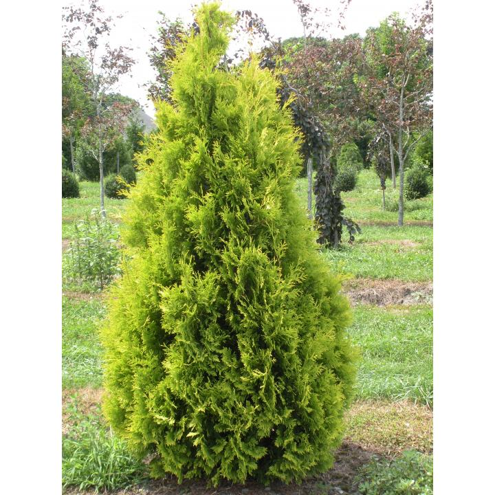 Arbust Tuia galbena (Thuja occ. Yellow Ribbon)