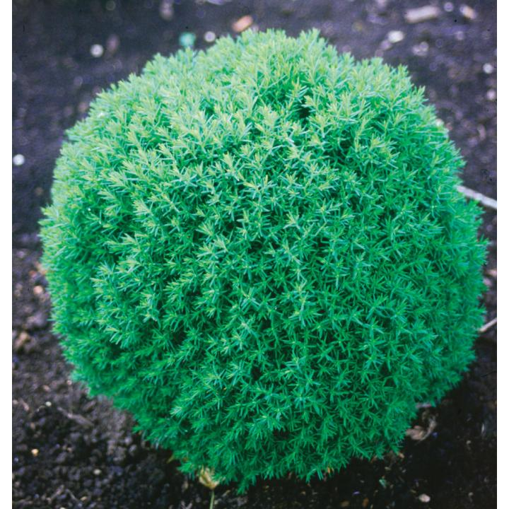 Arbust Tuia glob (Thuja occ. Teddy)