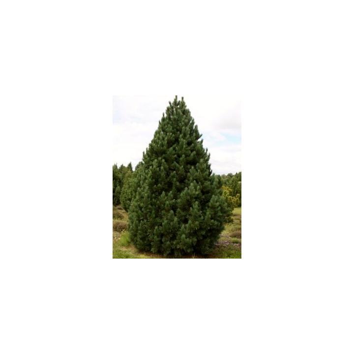Arbust Zambru (Pinus cembra)