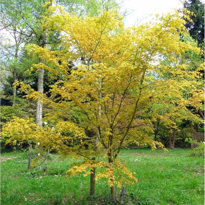 Artar japonez Katsura (Acer palmatum Katsura)