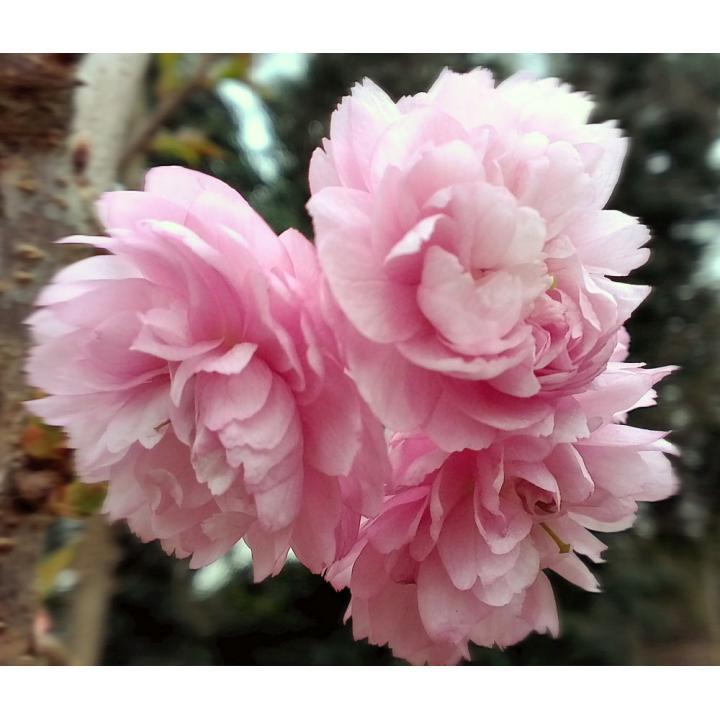 Cires japonez roz (Prunus serrlulata Pink Perfection)