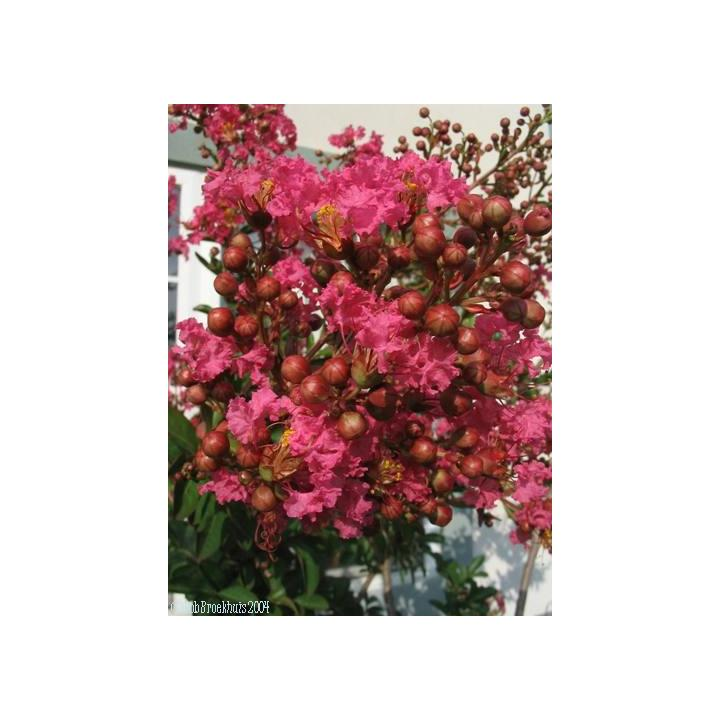 Liliac indian rubra (Lagerstroemia ind Rubra)