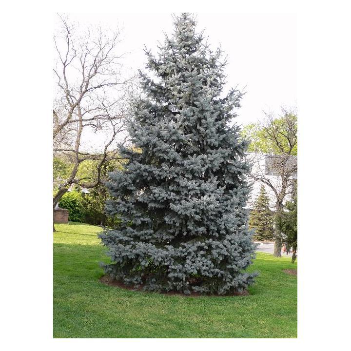Molid argintiu (Picea pungens Glauca)