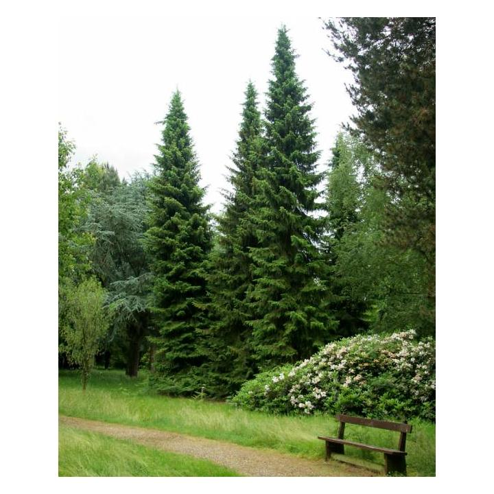 Molid sarbesc (Picea omorika)