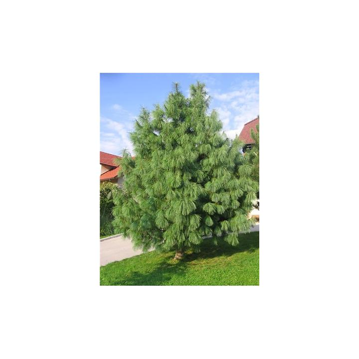 Pin de Himalaia (Pinus griffitti)