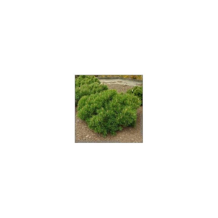 Pin pitic (Pinus mugo Pumilo)