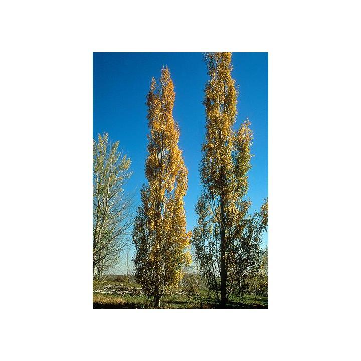Plop tremurator (Populus tremula)
