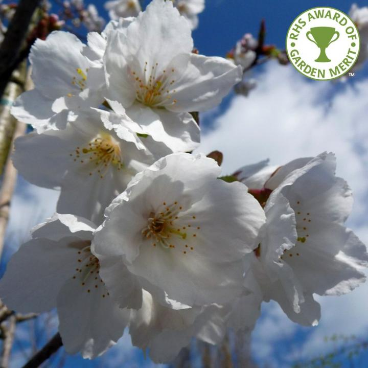 Pom Cires japonez alb (Prunus serrulata Tai Haku)