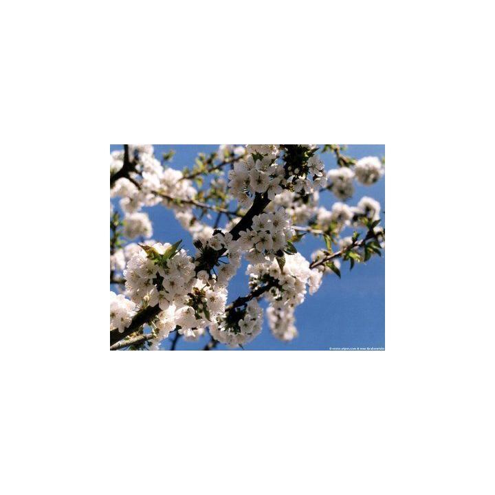 Pom fructifer corcodus (Prunus cerasifera)