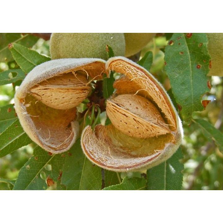 Pom fructifer Migdal (Prunus amygdaloides)